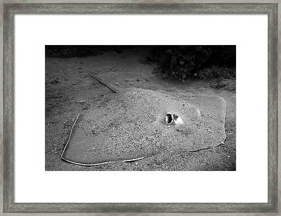 A Southern Stingray Waits At The Bottom Framed Print