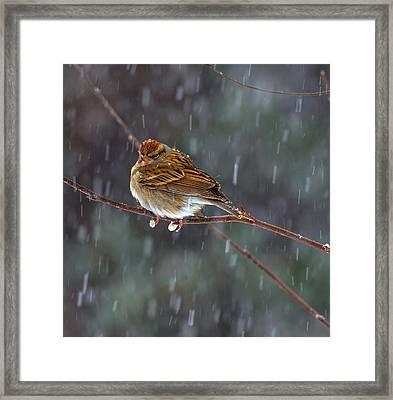 A Sparrow In Snow  Framed Print