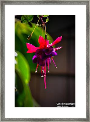 A Special Red Flower  Framed Print by Gandz Photography