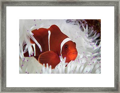 A Spine-cheeked Anemonefish Swims Among Framed Print by Ethan Daniels