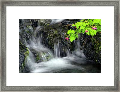 A Sprig Of Salmonberry Flowers Framed Print
