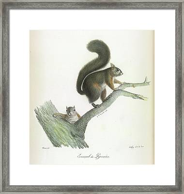A Squirrel Framed Print by British Library