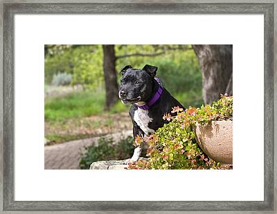 A Staffordshire Bull Terrier Sitting Framed Print by Zandria Muench Beraldo