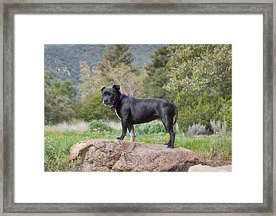A Staffordshire Bull Terrier Standing Framed Print by Zandria Muench Beraldo