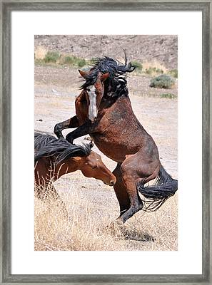 A Stallion Defends His Territory Framed Print