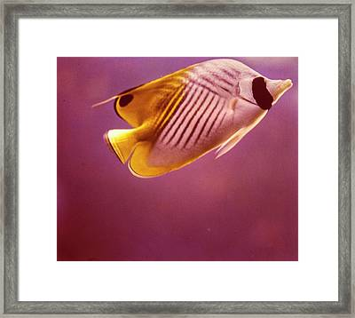 A Striped Butterfly Fish Framed Print by Horst P. Horst
