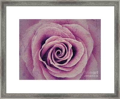 A Sugared Rose Framed Print