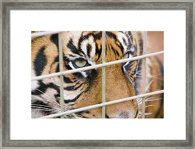 A Sumatran Tiger In Dalton Zoo Framed Print