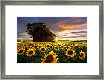 A Sunflower Moment Framed Print by Debra and Dave Vanderlaan
