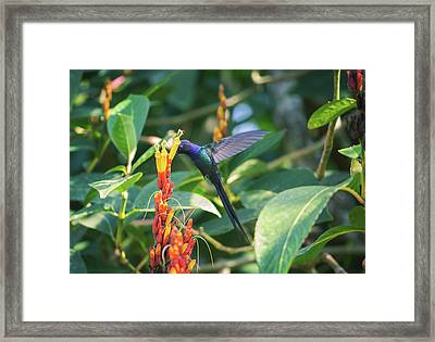 A Swallow-tailed Hummingbird Framed Print