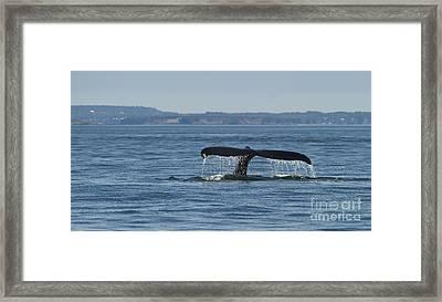 A Tail For Its Fluke... Framed Print by Nina Stavlund