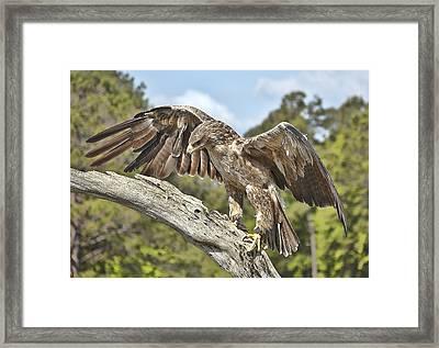 A Tawney Eagle Framed Print