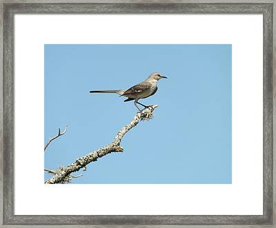 A Texas Mockingbird Framed Print by Rebecca Cearley