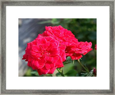 A Thorny Rose Framed Print