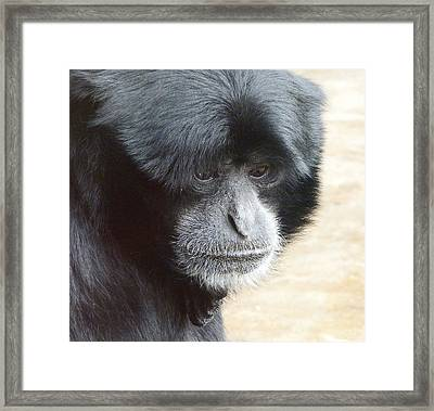A Thoughtful Siamang Framed Print by Margaret Saheed