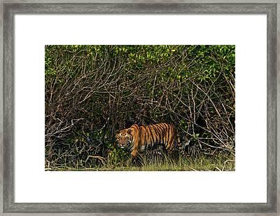 A Tiger Walks Among The Mangroves Framed Print by Steve Winter