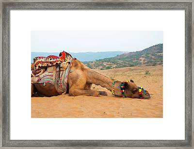 A Tired Camel, Pushkar, Rajasthan, India Framed Print