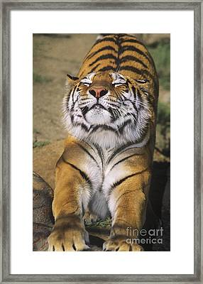 A Tough Day Siberian Tiger Endangered Species Wildlife Rescue Framed Print