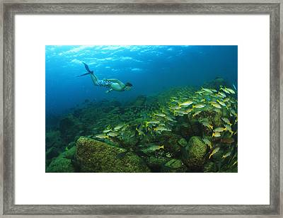A Tourist Swimming With A School Of Framed Print by Stuart Westmorland