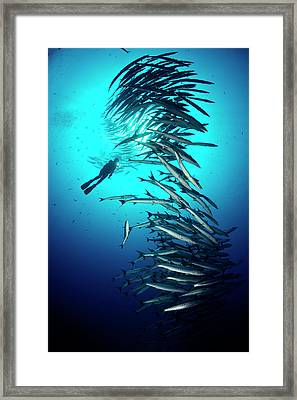 A Tower Of Chevron Barracuda Rises Framed Print