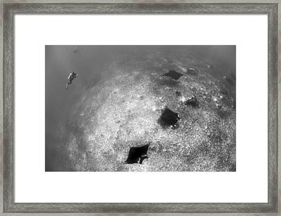 A Trio Of Reef Manta Rays Swimming Framed Print