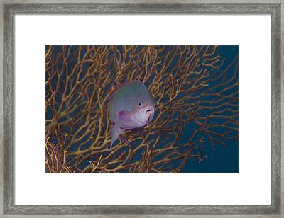 A Tropical Fish With Gorgonian Framed Print by Terry Moore