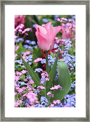 A Tulip At Luxembourg Gardens, Paris Framed Print by William Sutton