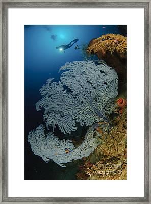 A Very Rare Blue Sea Fan, Gorontalo Framed Print by Steve Jones