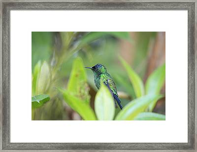 A Violet-capped Wood Nymph, Thalurania Framed Print by Alex Saberi