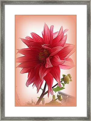 A Vision In  Coral - Dahlia Framed Print
