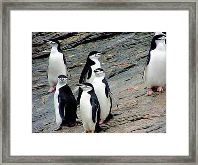 A Waddle (group) Of Chinstrap Penguins Framed Print by Miva Stock