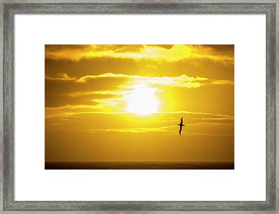 A Wandering Albatross Framed Print by Ashley Cooper