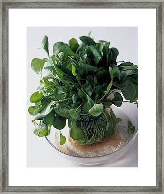 A Watercress Plant In A Bowl Of Water Framed Print