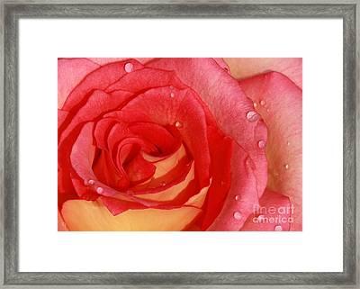 A Wet Rose Framed Print
