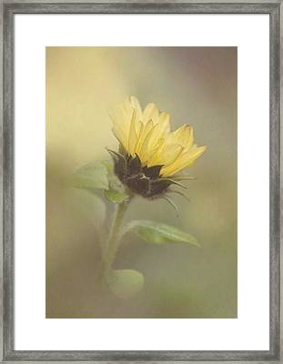 A Whisper Of A Sunflower Framed Print