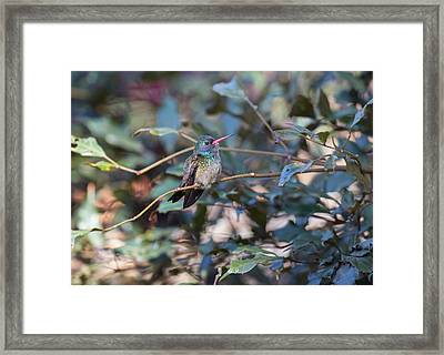 A White-chinned Sapphire, Hylocharis Framed Print