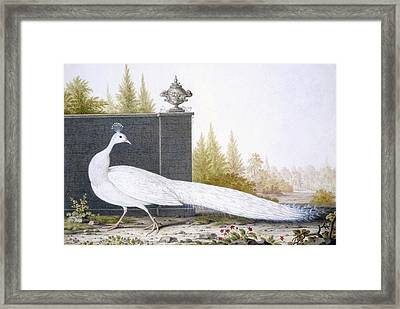 A White Peahen Framed Print