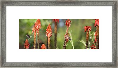 A White-throated Hummingbird Framed Print