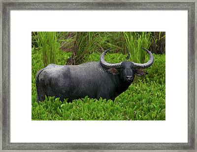 A Wild Asian Water Buffalo In Kaziranga Framed Print by Steve Winter