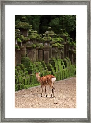 A Wild Deer Stands Next To A Long Line Framed Print by Paul Dymond