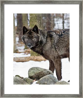 A Wolf's Intense Focus Framed Print