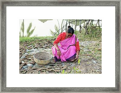 A Woman Collecting Dried Cow Dung Framed Print by Ashley Cooper
