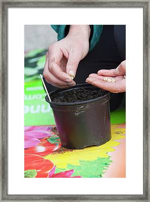 A Woman Planting Vegetable Seeds Framed Print by Ashley Cooper