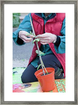 A Woman Potting On A Broad Bean Plant Framed Print by Ashley Cooper
