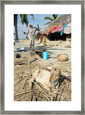 A Woman Subsistence Farmer Cooking Framed Print by Ashley Cooper