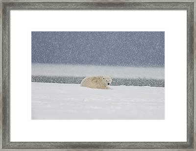 A Yearling Polar Bear Cub Lays Framed Print