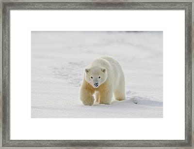 A Yearling Polar Bear Cub Plays Framed Print