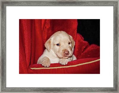 A Yellow Labrador Retriever Puppy Lying Framed Print by Zandria Muench Beraldo
