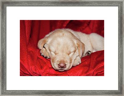 A Yellow Labrador Retriever Puppy Framed Print by Zandria Muench Beraldo
