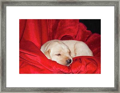 A Yellow Labrador Retriever Sleeping Framed Print
